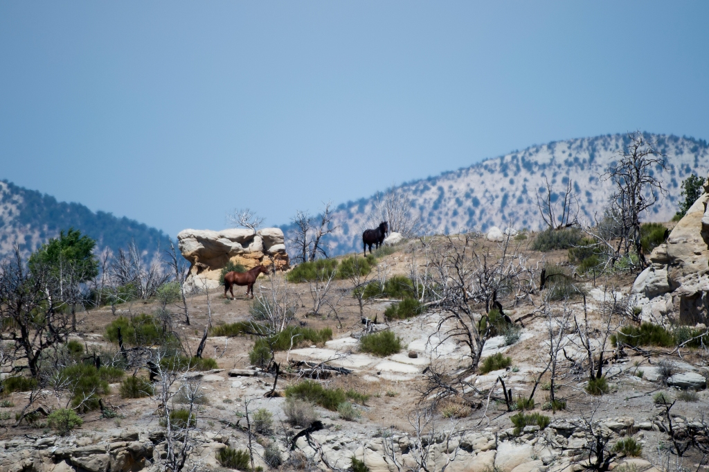 wild horses on a hill